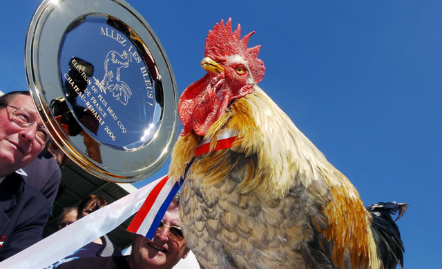 "A picture taken 03 June 2006 shows 4-year-old rooster ""P'Tit Claude"" (Little Claude) in Chateau-Renault, center France, after it was elected 'France's most beautiful rooster' and 'Mascot of the French national football team' for the 2006 Fifa World Cup.  AFP PHOTO ALAIN JOCARD"