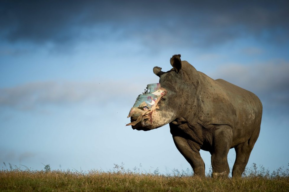 JAHRESRUECKBLICK 2015 - MAI - epa04769538 A handout image released by Adrian Steirn shows Hope, a four-year old female rhino that survived an horrific poaching attack thanks to dramatic intervention by specialist medical staff in South Africa, recovers at Shamwari Game Reserve in the Eastern Cape, South Africa, 26 May 2015. Hope was attacked by poachers in the first week of May 2015. The poachers darted her with tranquillising drugs and hacked off her horn, leaving her for dead. The attack is one of a series of losses suffered by Lombardi Nature Reserve in the last month. After the attack, Hope was transferred to Shamwari Game Reserve in the Eastern Cape to receive further treatment. Major surgery was performed on 18 May by Dr Gerhard Steenkamp of the University of Pretoria and a veterinary team to fit the protective plate that can be seen covering the wound. Hope is being cared for by Saving the Survivors, an organisation which works specifically to save rhino that have been victims of poaching attacks. South Africa has seen three of the worst years on record for rhino poaching. In 2012 poachers killed 668 rhino building to a total of 1215 in 2014. 2015 is on track to exceed those numbers. (KEYSTONE/EPA/ADRIAN STEIRN) HANDOUT EDITORIAL USE ONLY/NO SALES