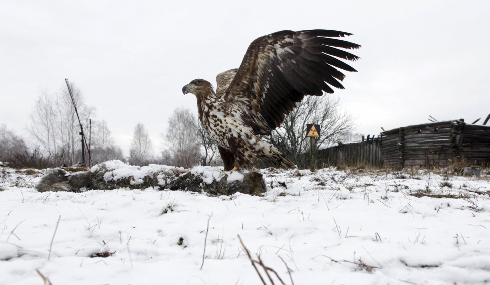 """A white-tailed eagle lands on a wolf's carcass in the 30 km (19 miles) exclusion zone around the Chernobyl nuclear reactor, in the abandoned village of Dronki, Belarus, February 15, 2016. What happens to the environment when humans disappear? Thirty years after the Chernobyl nuclear disaster, booming populations of wolf, elk and other wildlife in the vast contaminated zone in Belarus and Ukraine provide a clue. On April 26, 1986, a botched test at the nuclear plant in Ukraine, then a Soviet republic, sent clouds of smouldering radioactive material across large swathes of Europe. Over 100,000 people had to abandon the area permanently, leaving native animals the sole occupants of a cross-border """"exclusion zone"""" roughly the size of Luxembourg. REUTERS/Vasily Fedosenko SEARCH """"WILD CHERNOBYL"""" FOR THIS STORY. SEARCH """"THE WIDER IMAGE"""" FOR ALL STORIES TPX IMAGES OF THE DAY"""