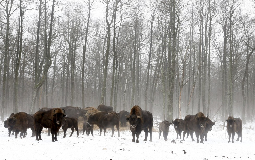 """Bisons are seen at a bison nursery in the 30 km (19 miles) exclusion zone around the Chernobyl nuclear reactor near the abandoned village of Dronki, Belarus, January 28, 2016. What happens to the environment when humans disappear? Thirty years after the Chernobyl nuclear disaster, booming populations of wolf, elk and other wildlife in the vast contaminated zone in Belarus and Ukraine provide a clue. On April 26, 1986, a botched test at the nuclear plant in Ukraine, then a Soviet republic, sent clouds of smouldering radioactive material across large swathes of Europe. Over 100,000 people had to abandon the area permanently, leaving native animals the sole occupants of a cross-border """"exclusion zone"""" roughly the size of Luxembourg. REUTERS/Vasily Fedosenko SEARCH """"WILD CHERNOBYL"""" FOR THIS STORY. SEARCH """"THE WIDER IMAGE"""" FOR ALL STORIES"""
