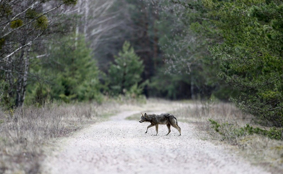 """A wolf crosses a road in a forest in the 30 km (19 miles) exclusion zone around the Chernobyl nuclear reactor near the abandoned village of Dronki, Belarus, April 2, 2016. What happens to the environment when humans disappear? Thirty years after the Chernobyl nuclear disaster, booming populations of wolf, elk and other wildlife in the vast contaminated zone in Belarus and Ukraine provide a clue. On April 26, 1986, a botched test at the nuclear plant in Ukraine, then a Soviet republic, sent clouds of smouldering radioactive material across large swathes of Europe. Over 100,000 people had to abandon the area permanently, leaving native animals the sole occupants of a cross-border """"exclusion zone"""" roughly the size of Luxembourg. REUTERS/Vasily Fedosenko SEARCH """"WILD CHERNOBYL"""" FOR THIS STORY. SEARCH """"THE WIDER IMAGE"""" FOR ALL STORIES"""